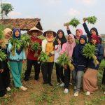 Mahasiswa PLP UM Metro Panen Sayur Bersama Petani Karang Rejo